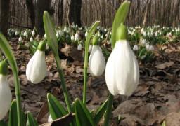 На Черкащині розцвіли перші підсніжники