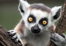 Із черкаського зоопарку викрали лемура