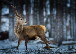 На Черкащині врятували оленя, що провалився під кригу