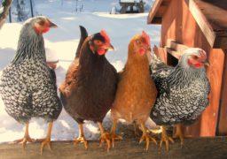 Чигиринці готові вдаватися до радикальних дій у боротьбі з курниками