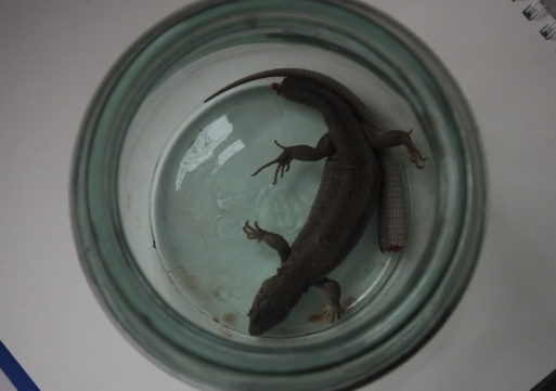 Черкаський зоопарк врятував зелену ящірку