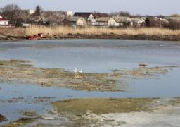 На Черкащину повертаються із вирію перелітні птахи.  Пара лебедів оселилася на ставку в центрі Золотоноші