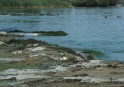 Зелена вода та мертва риба: Дніпро знову цвіте