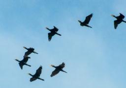 Над перекритим Черкаським мостом зафіксовано масовий переліт птахів