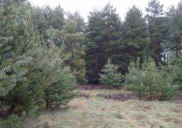 З лісу до домівок черкащан: як вирощують, охороняють та реалізовують новорічні ялинки