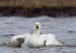 Золотонісці повідомили про лебедя, що замерзає на ставку, але птах не бажав, щоб його рятували
