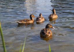До черкаських водоканалівців прилетіли дикі качки
