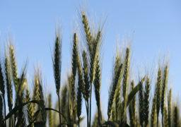 Агро-шахрайство: Фермер з Городища, який не може розрахуватися за боргами, продовжує махінації?
