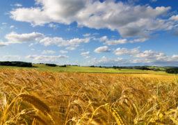 Дощі на Черкащині заважають збиранню врожаю