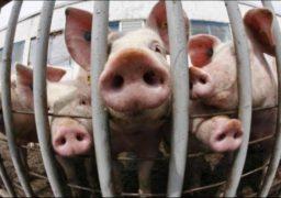 На Черкащині зафіксовано випадок африканської чуми свиней