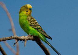 У Черкасах зник папуга: хвилястий, зеленого кольору. Тому, хто знайде, господарі гарно віддячать. Телефонувати за номером 0672554546 – Лада.