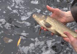 У Графське озеро, що в Смілі за стадіоном «Авангард», було випущено 415 кг зарибку коропа