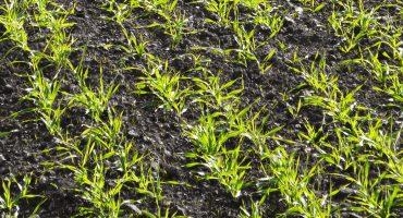 Через минулорічну посуху на Черкащині обсяг слабких і зріджених озимих оцінюють у 30%