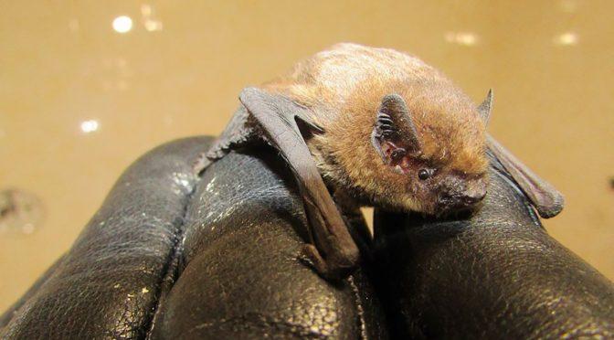 У Черкаському зоопарку знайшли кажана, нехарактерного для нашого регіону взимку