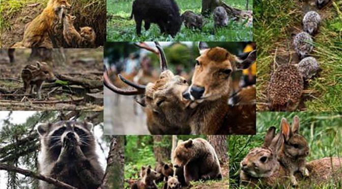 З 1 квітня до 15 червня забороняється проведення в середовищах перебування диких тварин робіт та заходів, які є джерелом підвищеного шуму та неспокою