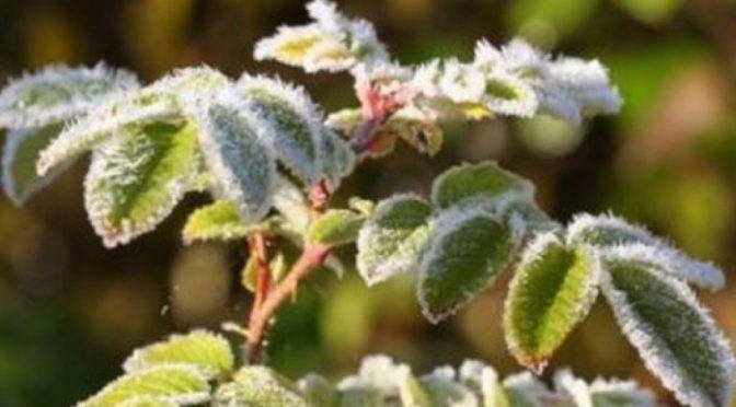 У ніч проти 15 квітня на Черкащині очікуються заморозки до -5°С