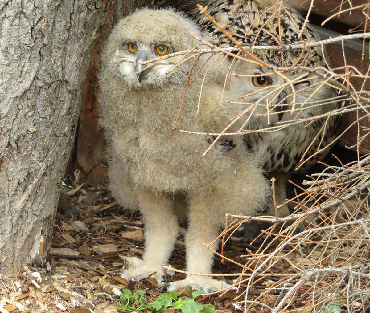пугач-черкаський зоопарк-пташеня