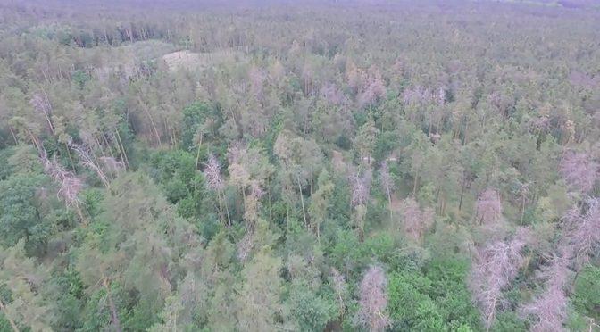 Поблизу Черкас всихає ліс. Сосновим насадженням Дахнівського лісництва наразі вже понад 150 років. Черкаські лісівники запланували провести тут вибіркові санітарні рубки.