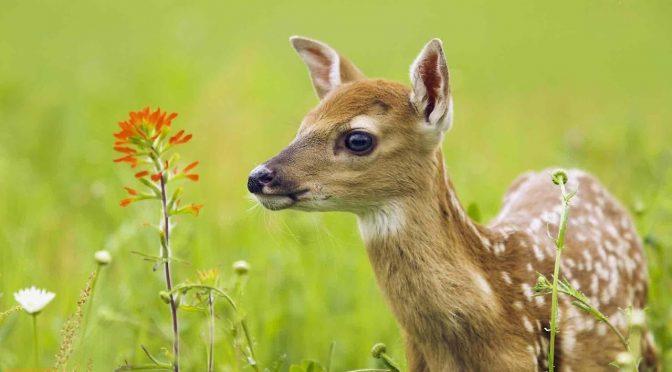На початку літа дуже легко натрапити на дитинчат диких звірів чи птахів. Під час такої зустрічі у людини може виникнути враження, що тварину покинули батьки і їй потрібно допомогти. Однак, дуже часто це враження — хибне. І у спробі врятувати дитинча, йому, навпаки, можна ще більше зашкодити.