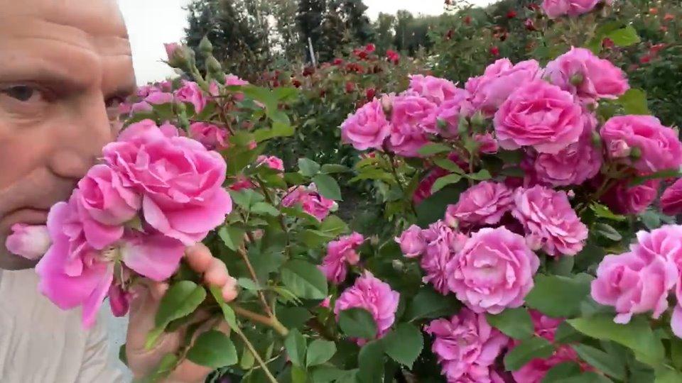 Бондаренко показав який вигляд має Долина троянд на світанку