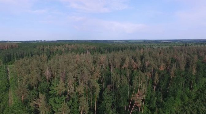 Лісівники показали, як на Черкащині всихає сосновий ліс