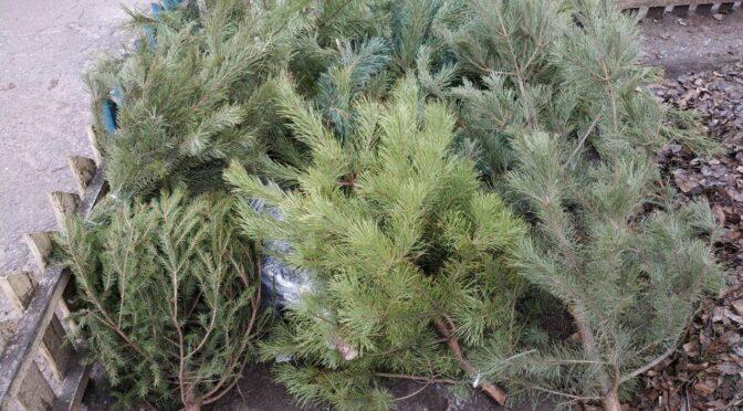 «Нова якість» збиратиме новорічні ялинки від сміттєвих майданчиків та відвозитиме до зоопарку