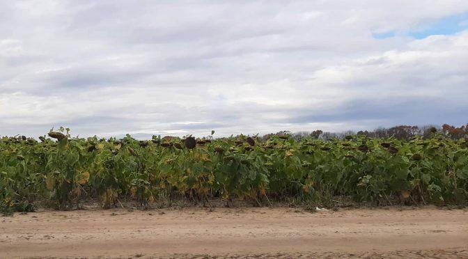 На Черкащині фермери повідомили про рейдерське захоплення врожаю соняшника